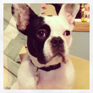 Vincent (aka Vinny) the French Bulldog