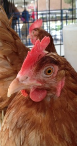 This chicken breed lays brown eggs.
