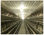 This is a traditional laying hen barn.