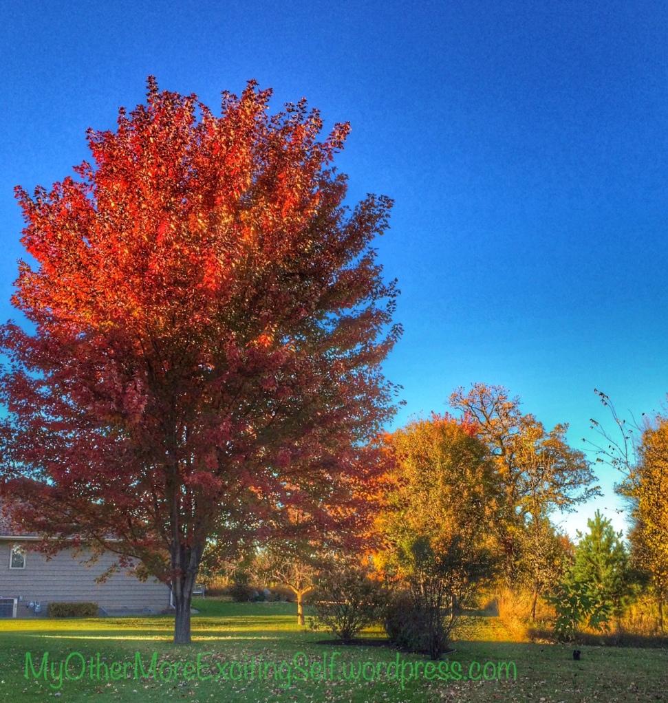 Autumn Blaze Maple | via MyOtherMoreExcitingSelf.wordpress.com