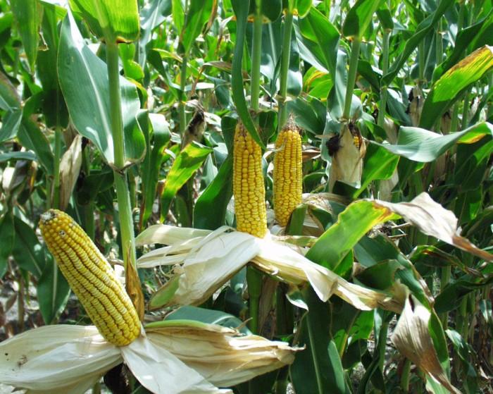 Ears of corn in Minnesota | via MyOtherMoreExcitingSelf.wordpress.com